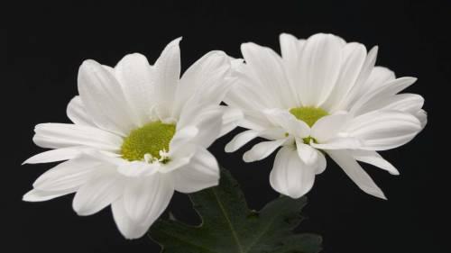 Обои цветы цветы похожие на